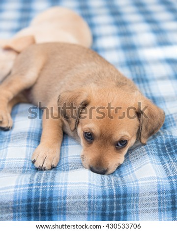 One Month Old Terrier Mix Puppy Relaxing on Blue Plaid Bed