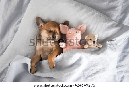 One Month  Old Terrier Mix Puppy Sleeping in Bed with Favorite Toys - stock photo