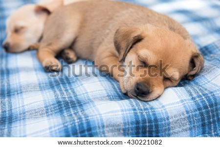 One Month Old Terrier Mix Puppy Sleeping in Blue Plaid Dog Bed  - stock photo