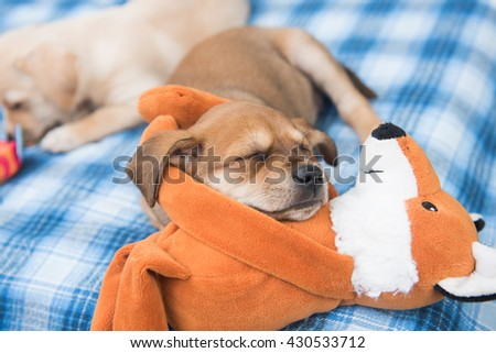 One Month Old Terrier Mix Puppy Sleeping in Blue Plaid Dog Bed with Orange Fox Toy