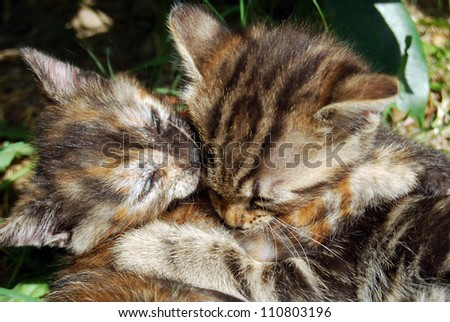 One more kiss - Tenderness between two kittens - stock photo
