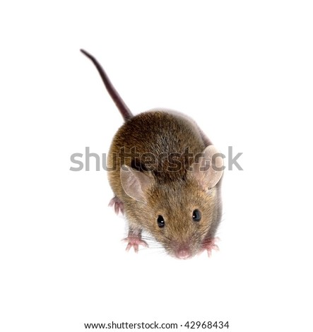 one mouse isolated on white - stock photo