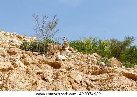 One nubian ibex (Capra nubiana) a desert-dwelling goat - stock photo