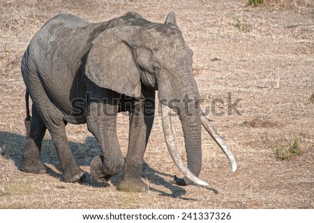 One of the few really large Elephants in Kruger National Park - stock photo