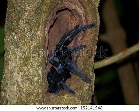 One of the largest arboreal tarantulas in the world!