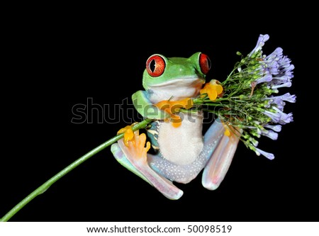one of the most beautiful creatures on planet earth:the red eyed tree frog (agalychnis callidryas) on a purple flower isolated on black. - stock photo