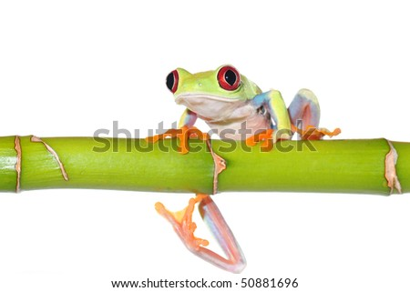 one of the most beautiful creatures on planet earth:the red eyed tree frog (agalychnis callidryas) sitting on a bamboo stick isolated on white. - stock photo