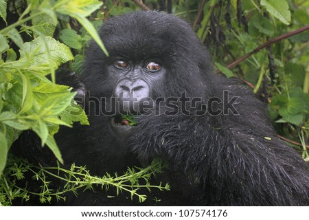 One of the most endangered animals, the Mountain Gorilla. Feeding in the wilds of the Virunga Mountains between the Congo and Rwanda. This gorilla is part of the Susa Group, studied by Dian Fossey. - stock photo
