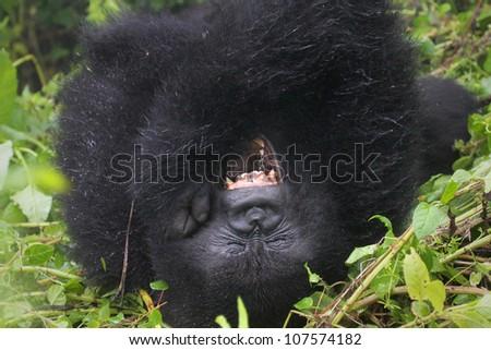 One of the most endangered animals, the Mountain Gorilla. In the wilds of the Virunga Mountains between the Congo and Rwanda. This new mom is part of the Susa Group, studied by Dian Fossey. - stock photo