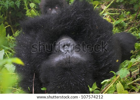 One of the most endangered animals, the Mountain Gorilla. In the wilds of the Virunga Mountains between the Congo and Rwanda. This mother and baby are part of the Susa Group, studied by Dian Fossey. - stock photo