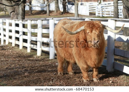 One of the oldest Cattle breeds in the world the Highland Scottish Cow , here in the Pleasant Hill Shaker Community in Kentucky