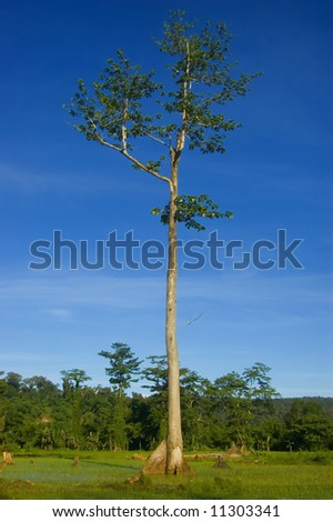 One of the remaining trees left from logging in the lowland of Palanan, Isabela, Philippines