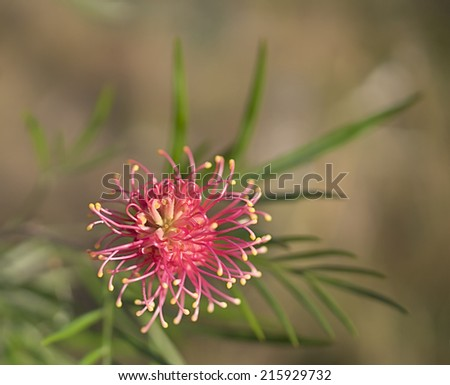 One of the typical flower heads of Australian native wildflower Grevillea species - stock photo