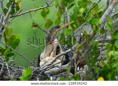 One of three newborn anhinga chicks in nest begging for food.  Swampy area of Everglades National Park. - stock photo