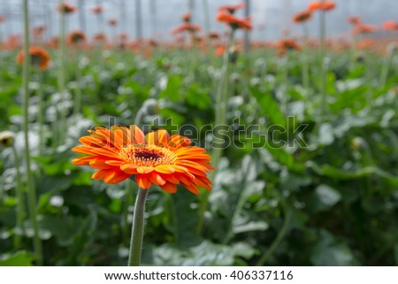 One orange blooming Gerbera plant in the sunny foreground against many blurred plants and flowers in the background of a Dutch hothouse. - stock photo
