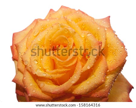 one orange rose, isolated on white background