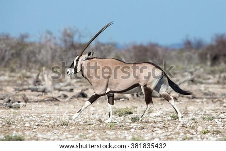 One Oryx male walking in Etosha National Park in Namibia - stock photo