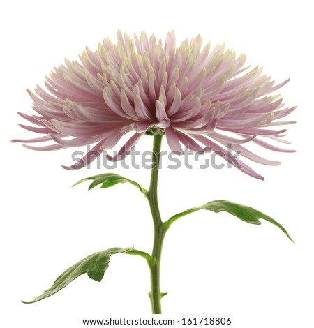 One pink flower with many petals in full bloom. - stock photo