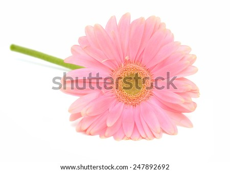 One pink gerber flower on white  - stock photo