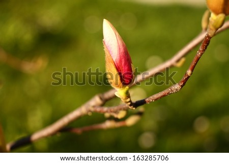 One pink magnolia bud in the garden