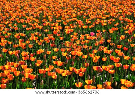 One Pink Tulip Among a Field of Orange Tulips