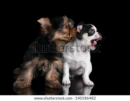 One puppy of Yorkshire Terrier and one puppy of chihuahua on black - stock photo