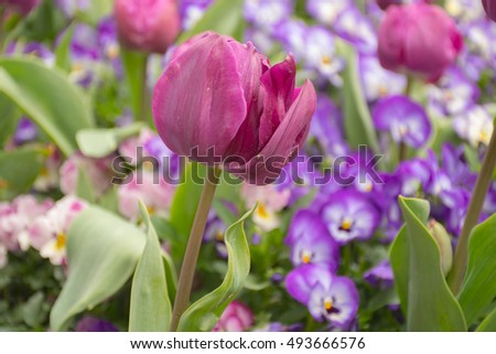 One purple tulip among a field of other flowers