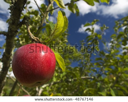 One red apple hanging on the tree. Focus on the foreground. - stock photo