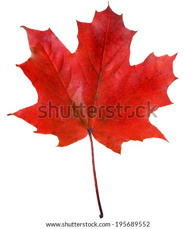 one red autumn leaf isolated on a white background - stock photo