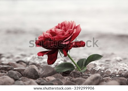 one red rose flower at the stony beach, soft water background - stock photo