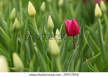 One red tulip blooming among others that haven't yet. - stock photo