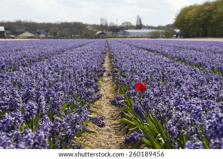 One red tulip in a field with purple hyacinths in rural Holland - stock photo