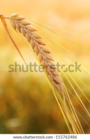 one ripe ear, golden field background - stock photo