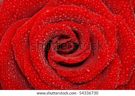 one rose - stock photo