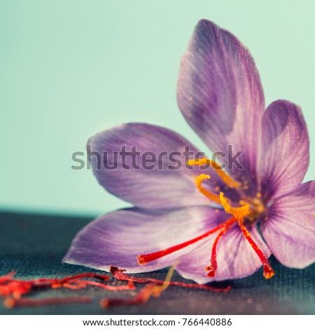 one saffron flower out focus and a lot of drying saffron types
