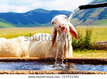 One sheep drinking water  - stock photo