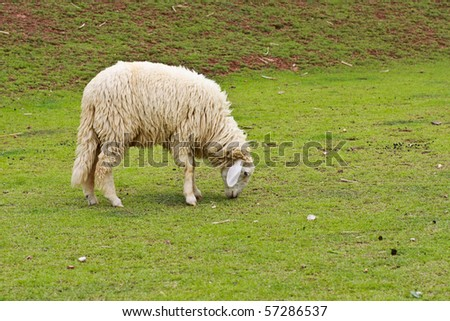 One sheep is during eat grass at farm in Ratchburee of Thailand