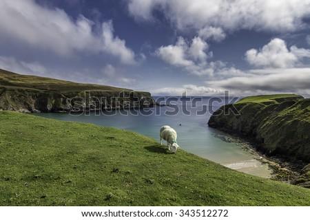 One sheep, one beach - stock photo