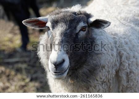 One sheep, white and gray watching something - stock photo