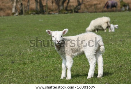 One, Single, alone lamb looking at the camera