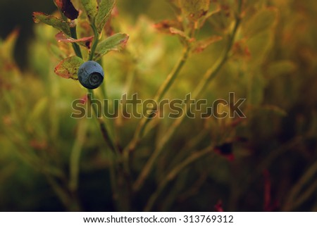One single blueberry on the branch - stock photo