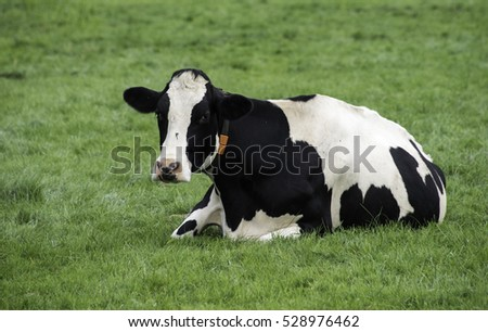 one single cow in the green grass on the farm looking at the camera
