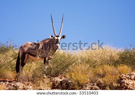 One single Gemsbok grazing on a dune in the Kalahari desert - stock photo