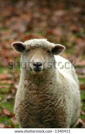 One single sheep munching on some grass - stock photo