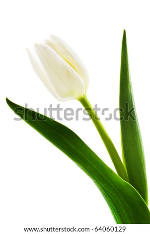 One single white tulip on a pure white background with space for text - stock photo