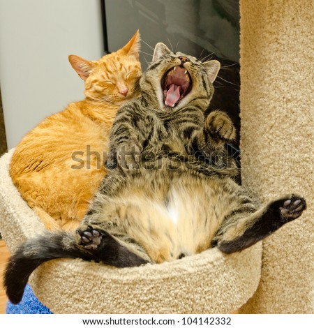 One sleeping and another cat yawning, yelling or laughing - stock photo