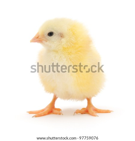 One small chicken on a white background
