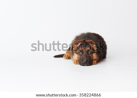 one small cute german shepherd puppy laying on white background and looking straight into the camera. - stock photo