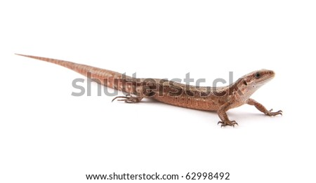 One small lizard on a white background