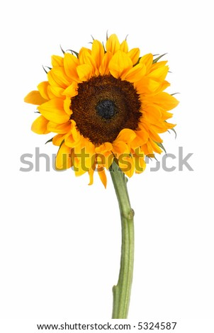 One sunflower head with stalk shot in the studio on a white background